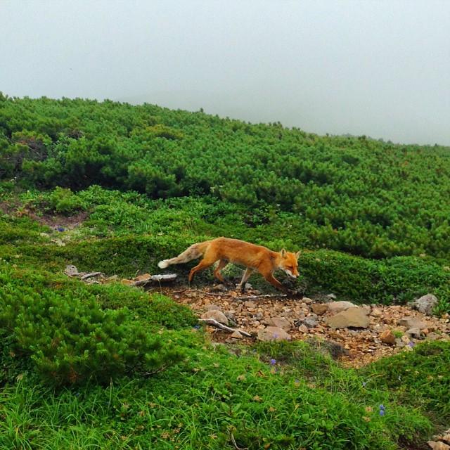 ベベツ岳にてキタキツネ #Daisetsuzan #Hokkaido #japanmountains #Fastpacking #tomuraushi #fox